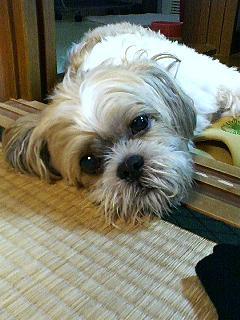 トト シーズー犬