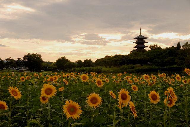 国分寺のひまわりと夕陽1