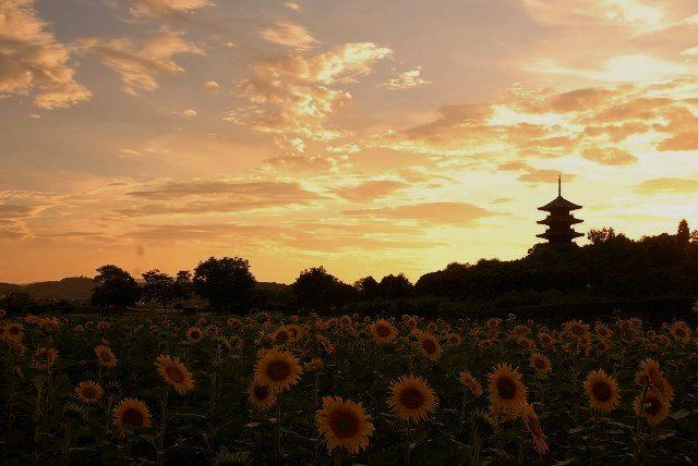 国分寺のひまわりと夕陽2