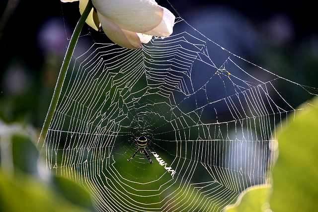 枯れた蓮に蜘蛛巣と露