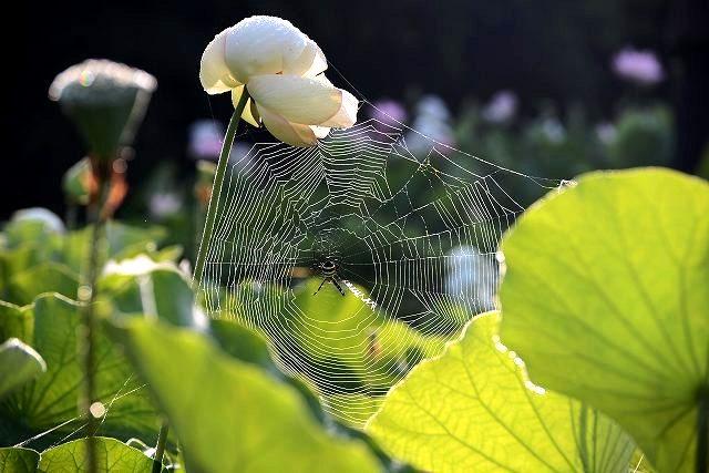 枯れた蓮に蜘蛛巣と露2