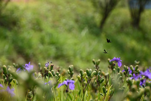 飛翔する蝶トンボ2