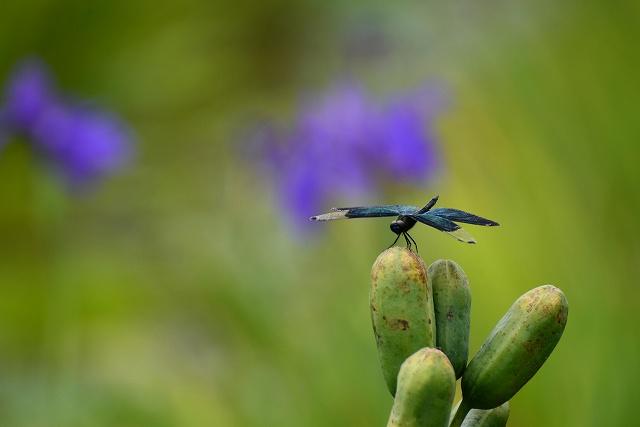 カキツバタ畑の蝶トンボ3