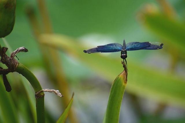 燻銀に輝く蝶トンボ1