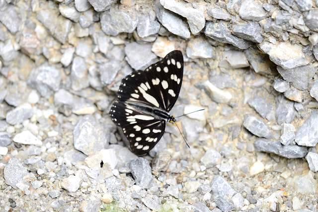ゴマダラ蝶2