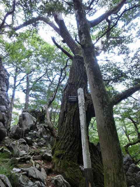 横倉の木1