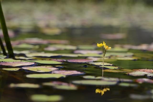 イヌタヌキ藻