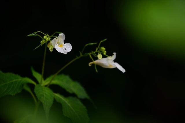 白いツリフネ草1