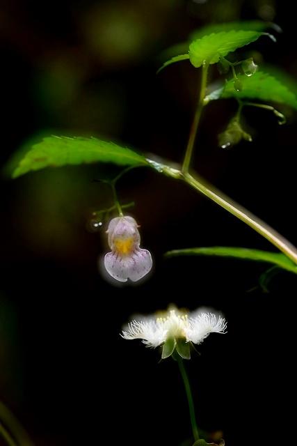 白いツリフネ草2