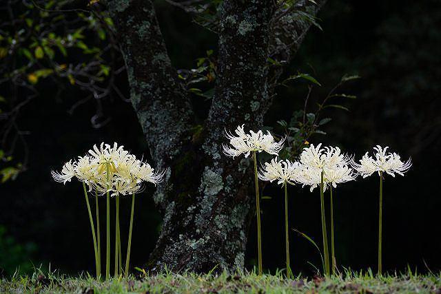 白いヒガンバナ1