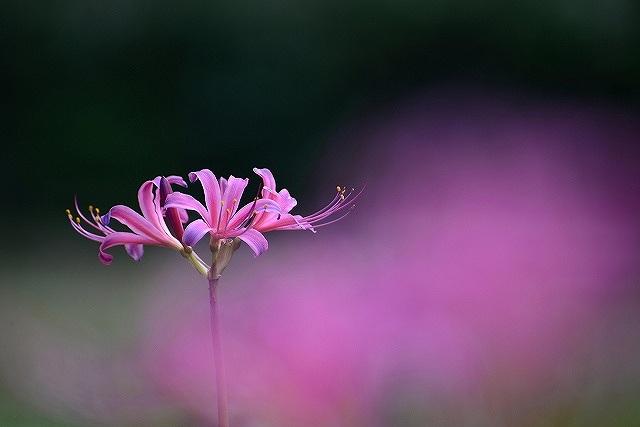 ピンクのリコリス3