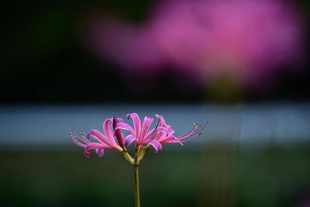 ピンクのリコリス5