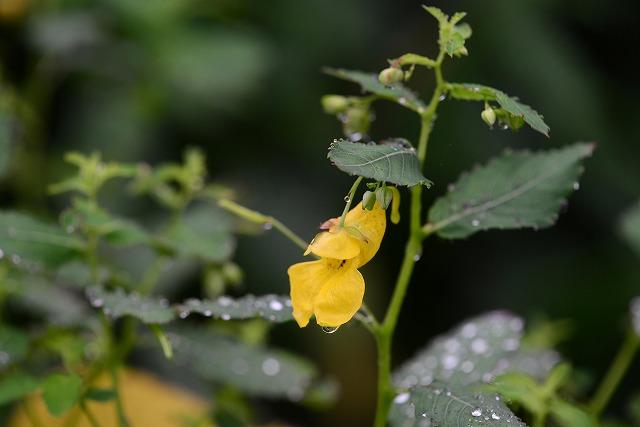 黄ツリフネ草1