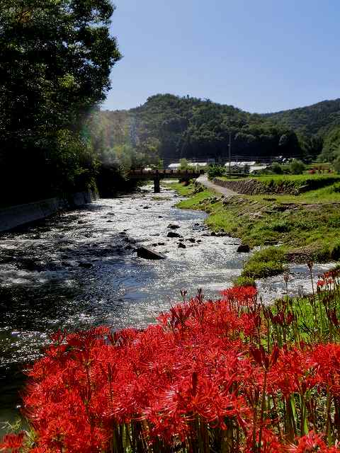 加茂川の彼岸花2