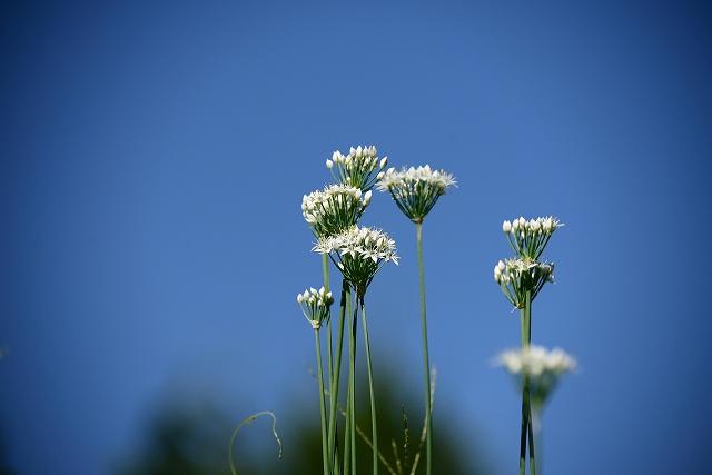 ニラの花1