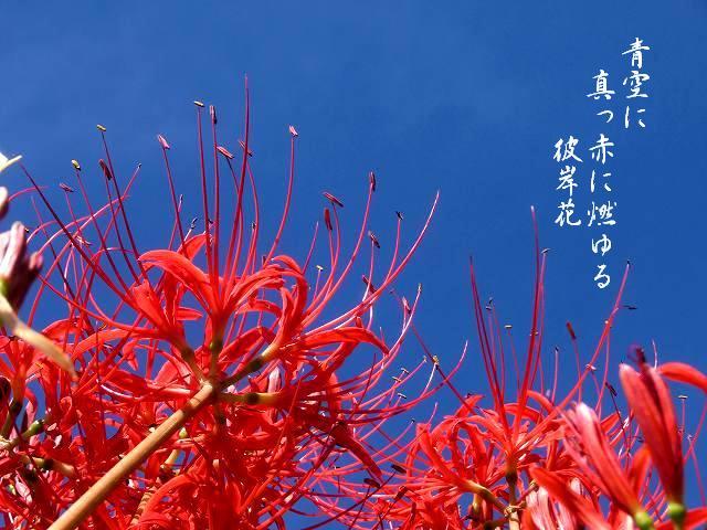 加茂川の彼岸花9