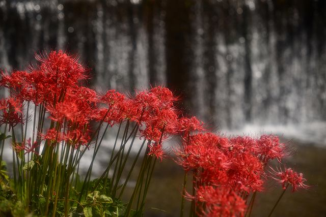 品の滝近くの彼岸花1