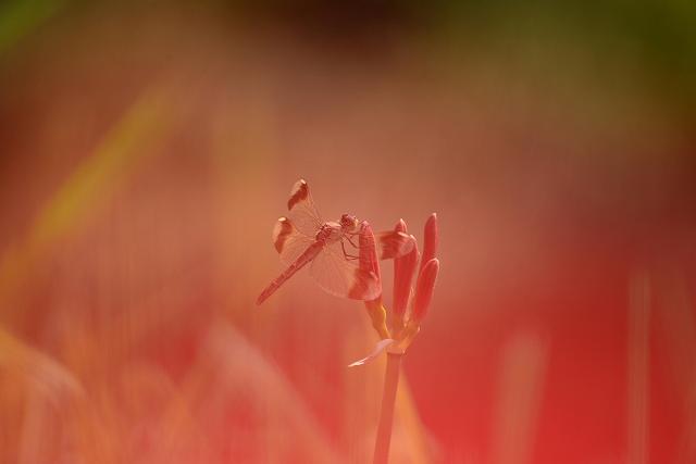 彼岸花の蕾とアキアカネ3