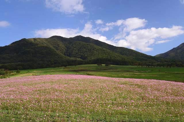 蒜山ジャージーランドのコスモス1