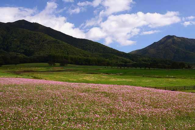 蒜山ジャージーランドのコスモス2