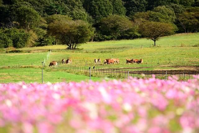 蒜山ジャージーランドのコスモス3