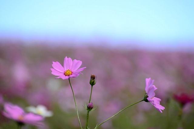 蒜山ジャージーランドのコスモス7