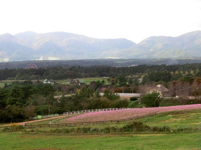 蒜山ジャージーランドのコスモス8