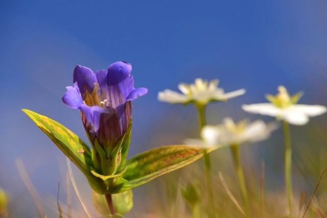 リンドウとウメバチ草1