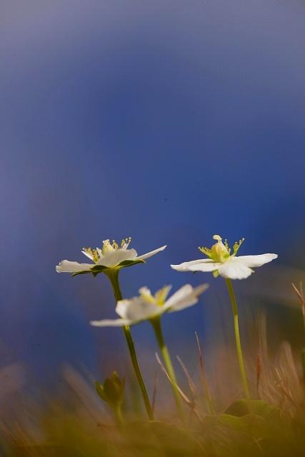 ウメバチ草1