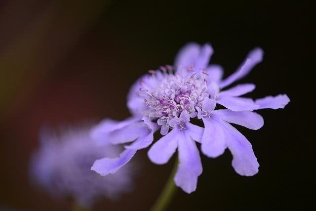 マツムシ草1