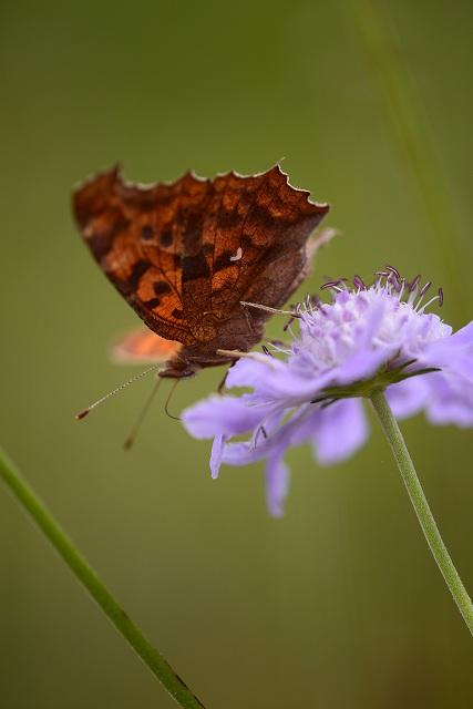 テング蝶とマツムシ草1
