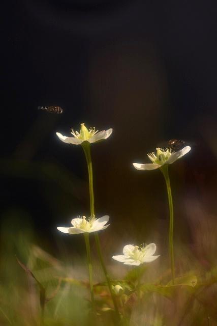 ウメバチ草5