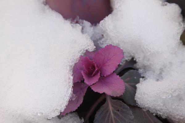 雪&葉牡丹