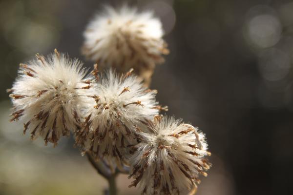 ツワブキの種子2