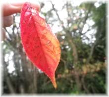 さなとりぅむ-夏の秋のはっぱ