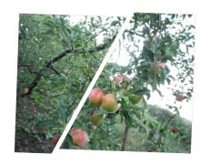 さなとりぅむ-りんごりんごりんご