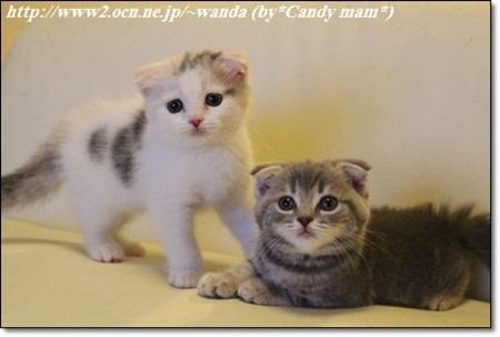 スコティッシュ 子猫写真