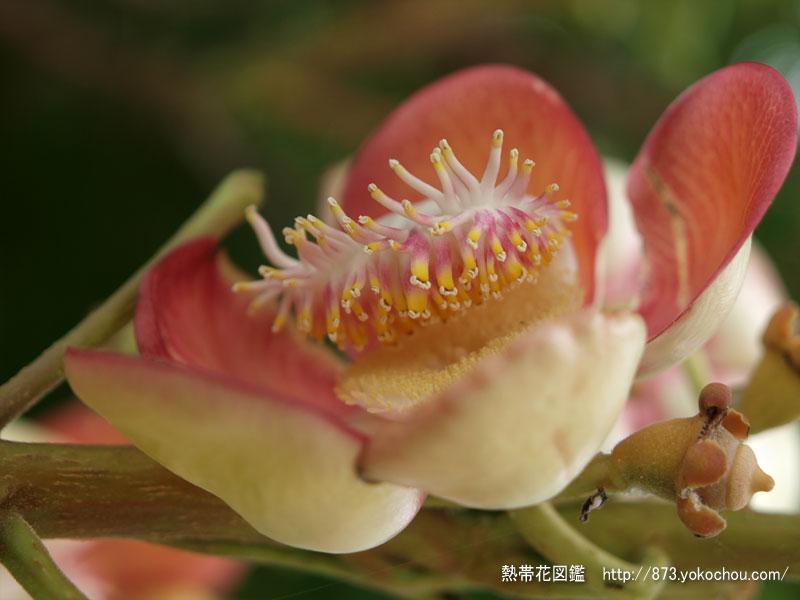 ノンプラジャック公園の砲丸の木の花