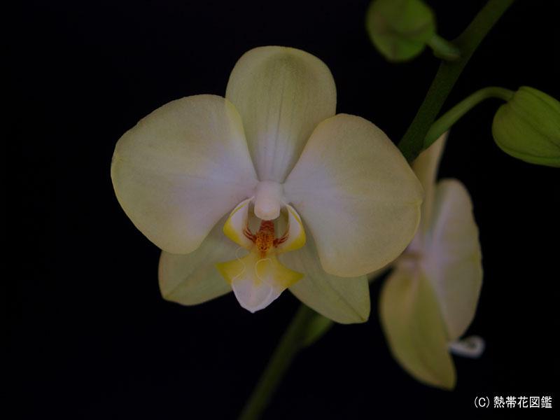 開花したばかりの胡蝶蘭