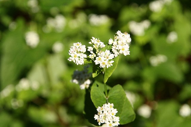 そばの花1
