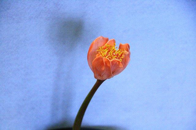 赤花マユハケオモト