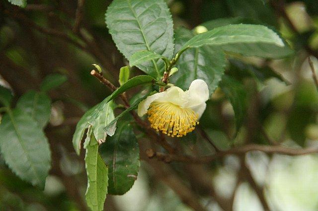 お茶の花2