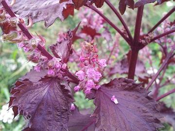 赤シソの花