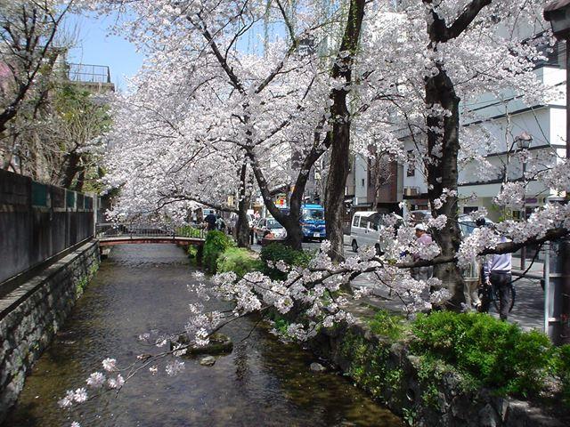 高瀬川と桜 2005年4月9日
