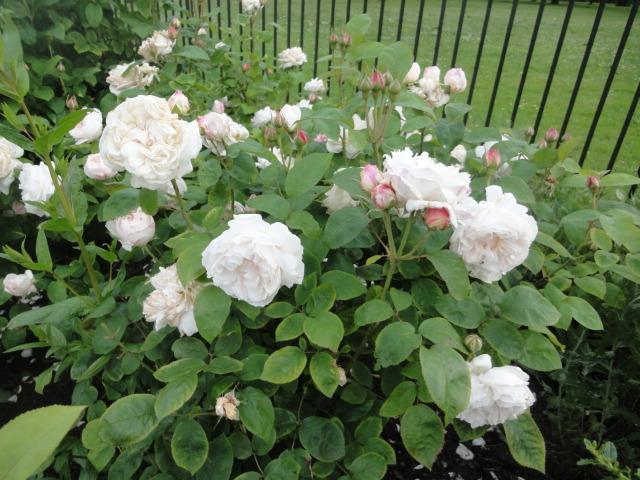 ダイアナの泉 白薔薇