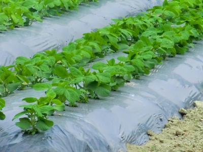 ジャガイモ畑⑤