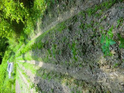 ジャガイモ畑⑧