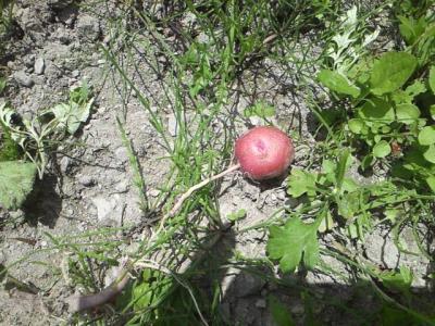 ジャガイモ畑③