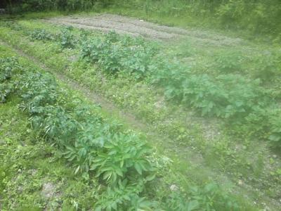 ジャガイモ畑6月15日②