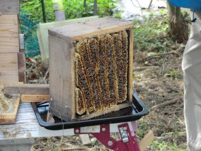 蜂蜜採集②